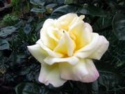 「ピース…平和」を願う薔薇の花