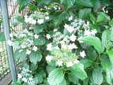 紫陽花の花言葉は・・・