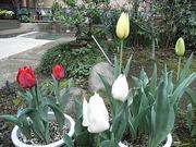 ♫ 咲いた咲いたチューリップの花が・・・♫